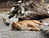 Sleeping Lioness — Stock Photo