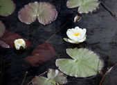 A Water Lily Bloom — Stock Photo