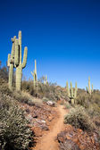 Trail through the cactus — Stock Photo