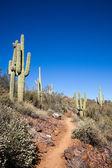 Trail through the cactus — Stock Photo