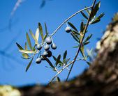 Black Olives on a Branch — Stock Photo