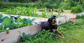 Gardening with Man's Best Friend — Stock Photo
