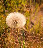 Giant Dandelion Puff — Stock Photo