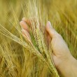 Hand in wheat field. — Stock Photo