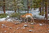 Чернохвостый олень — Стоковое фото