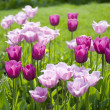 Purple Tulips is Spring - Stock Photo
