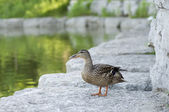A Female Canadian Duck — Stock Photo