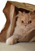 Macro persain cat hides in the bag — Stock fotografie