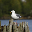 A telephoto of sea gull — Stock Photo