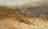 Calotes versicolor brown little lizard — Stock Photo