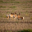 Stock Photo: Young female antelopes in Saskatchewstubble field
