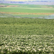 Potato crop being irrigated in scenic Saskatchewan — Stock Photo