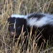 Young skunk in Saskatchewroadside ditch — Stock Photo #5549900