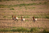 Young female antelopes in a Saskatchewan stubble field — Stock Photo