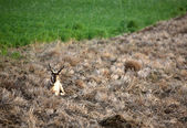 Male antelope resting in a Saskatchewan hay field — Stock Photo