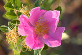 A Prairie Rose in scenic Saskatchewan — Stock Photo
