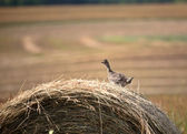 Sharp-tailed Grouse on hay bale in scenic Saskatchewan — Stock Photo