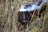 Young skunk in a Saskatchewan roadside ditch — Stock Photo