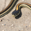 Baby garter snake on Saskatchewroad — Stock Photo #5550220