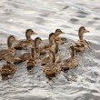 Blue-winged Teal hen with ducklings in a Saskatchewan pond - Stock Photo