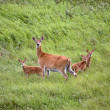 White-tailed doe with three fawns in a Saskatchewan field - Stock Photo