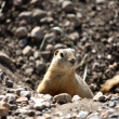 Stock Photo: Gopher peaking from hole in road in scenic Saskatchewan