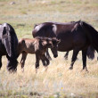 Stock Photo: Foal and mare in a Saskatchewan pasture
