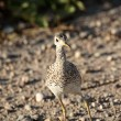 Upland Sandpiper on a Saskatchewan country road — Stock Photo