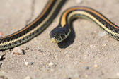 Baby garter snake on a Saskatchewan road — Stock Photo