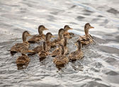 Blue-winged Teal hen with ducklings in a Saskatchewan pond — Stock Photo