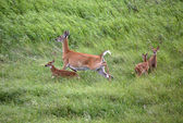 White-tailed doe with three fawns in a Saskatchewan field — Stock Photo