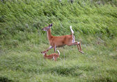 White-tailed doe and fawn running in a Saskatchewan field — Stock Photo