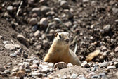Gopher peaking from hole in road in scenic Saskatchewan — Stock Photo