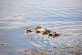 Blue-winged Teal ducklings in a Saskatchewan pond — Stock Photo