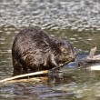 Beaver at Work - Stock Photo