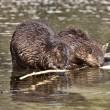 Beaver at Work — Stock Photo #5605498