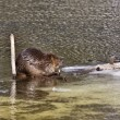 Beaver at Work — Stock Photo