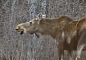 Moose in Winter — Stock Photo