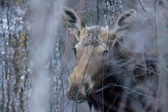 Moose in Winter — Stock Photo
