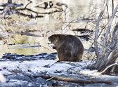 Beaver at Work — Stock Photo