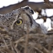 Great horned owl in nest - Stock Photo