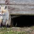 Fox Kits - Stock Photo
