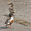 Northern Shoveler - Stock Photo