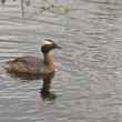 Horned Grebe - Stock Photo