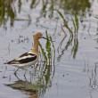 Avocet in water - Stock Photo