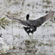 Coot Waterhen in Pond - Stock Photo