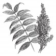 Stock Vector: Smooth sumac (Rhus glabra), vintage engraving.