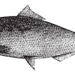 American Shad, Atlantic Shad, Alosa praestabilis or alosa sapidi — Stock Vector