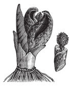 Skunk cabbage (Symplocarpus foetidus) or Eastern Skunk Cabbage, — Vecteur