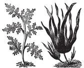 Pepper dulse, red algae or Laurencia pinnatifida (left). Oarweed — Stock Vector